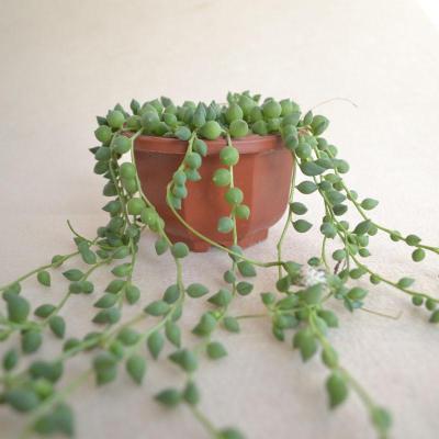 多肉植物 情人泪 垂吊盆栽绿之铃佛珠 家庭种植 阳台花园绿植 均长