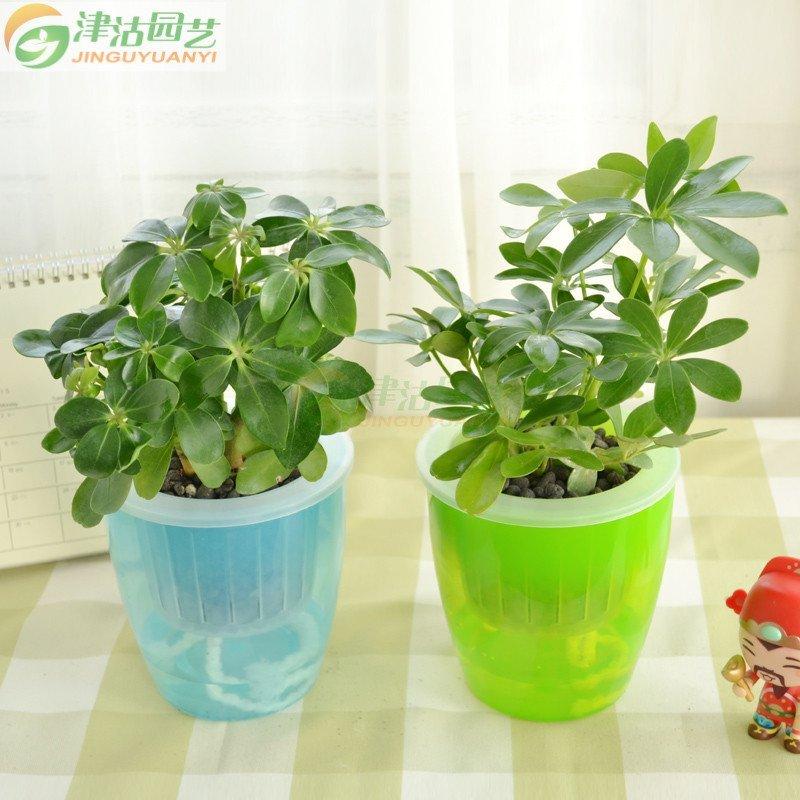 鸭脚木水培套装 办公室绿植盆栽含盆花卉 室内防辐射植物