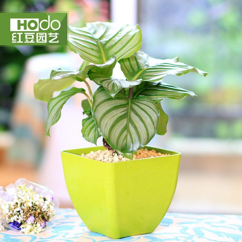 青苹果 圆叶竹芋办公室桌面盆栽迷你植物绿植创意小花农红豆园艺 绿色