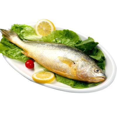 怡鲜来 舟山冰鲜大黄鱼 400-500g/条 黄花鱼 大黄鱼 肉嫩少刺