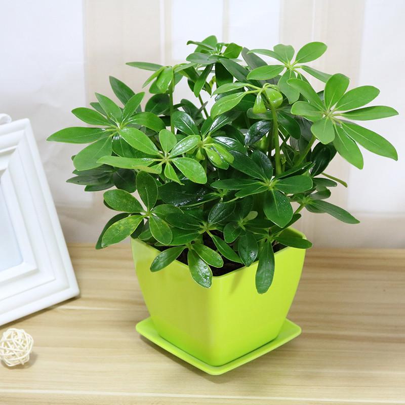 七叶莲盆栽鹅掌柴去尼古丁鸭脚木四季常青植物室内客厅吸甲醛绿植图片