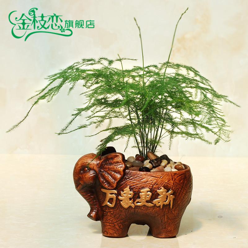 发财树小盆栽盆景文竹 陶瓷组合盆栽盆景 办公室内绿植花卉 万象更新