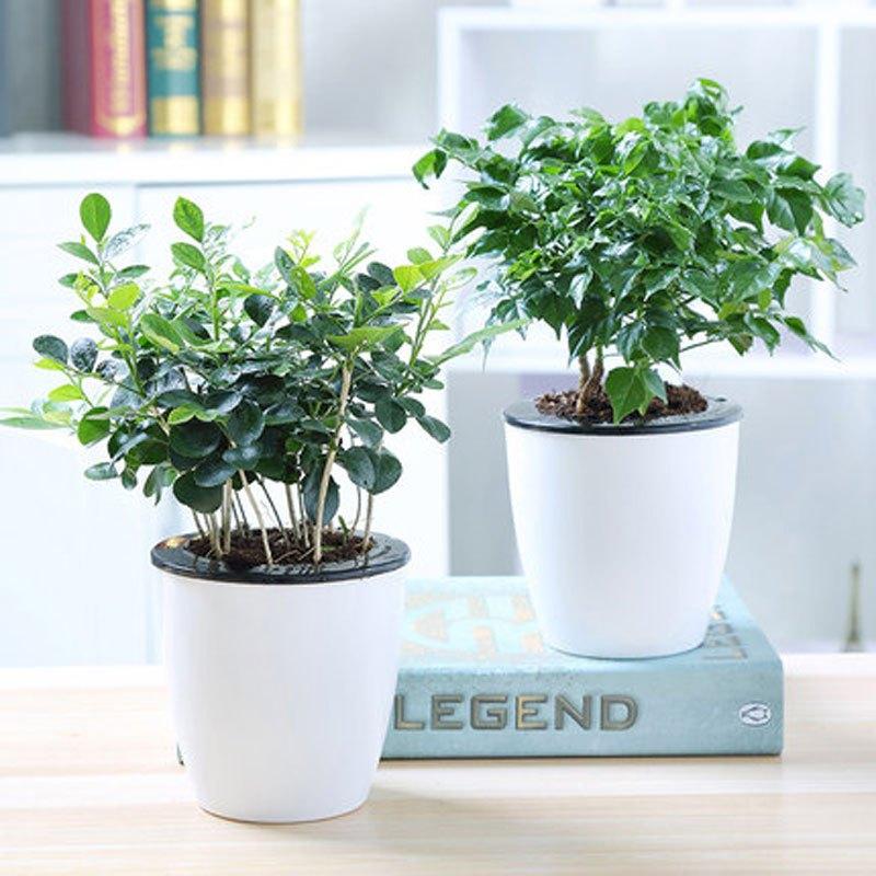 幸福树花卉绿植盆栽荷花竹虎皮兰室内办公室水培植物吊兰常青藤桌面
