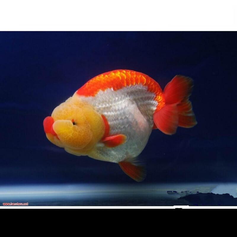 蓝色兰寿金鱼图片_淡水鱼类大全_淡水鱼类汇总