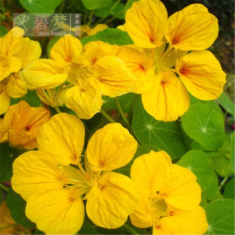 吊兰植物种子垂吊旱金莲种子盆栽旱荷花金莲花种子新凤凰1910粒