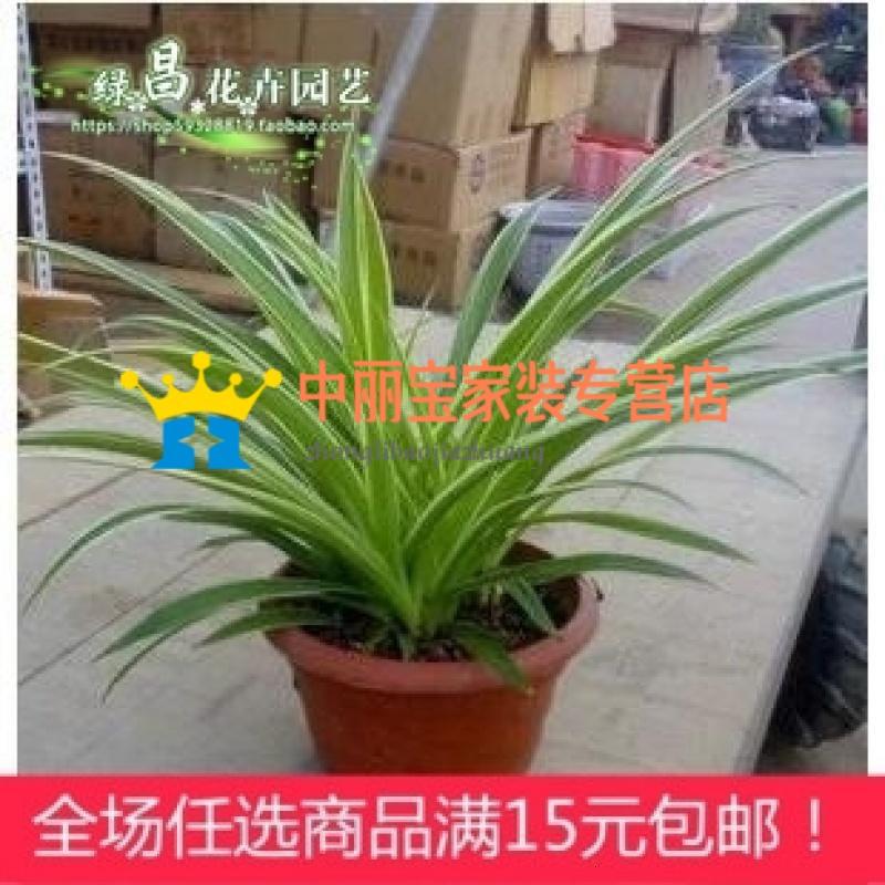 花卉盆栽 金边吊兰 青叶吊兰 金心吊兰 净化空气 防辐射盆栽图片
