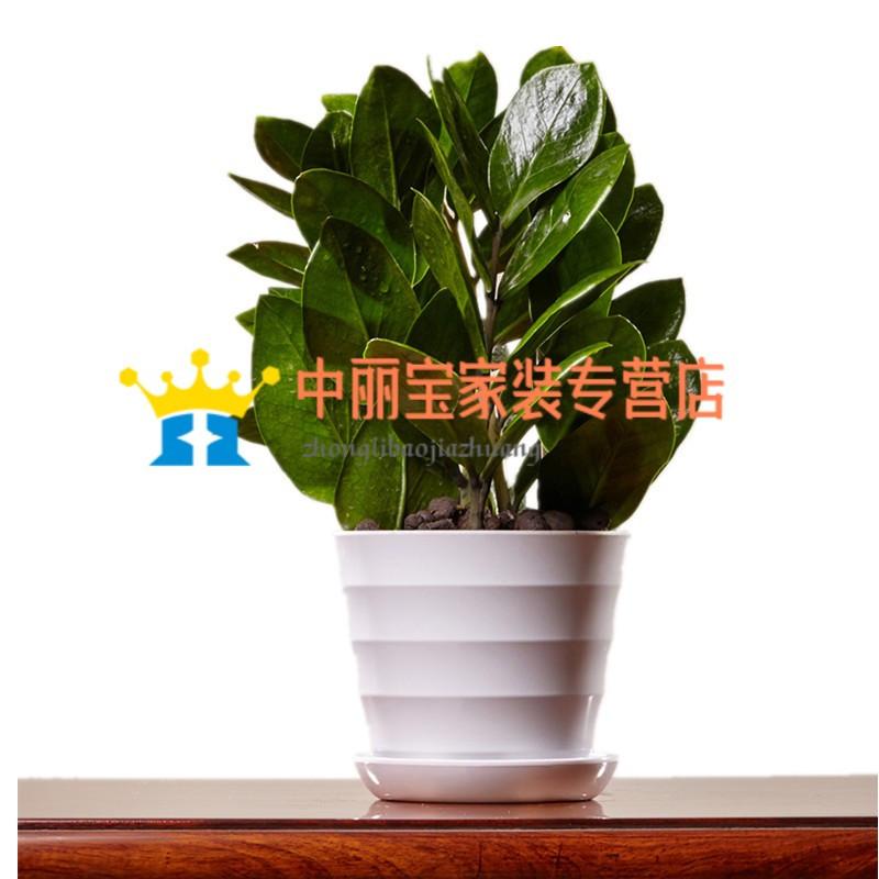 植物金钱树盆栽 室内绿植小盆景绿色办公室植物 家居花卉植物