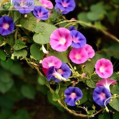 津沽园艺 花卉种子 牵牛花种子 喇叭花种子 阳台种植 花园种植 约10粒