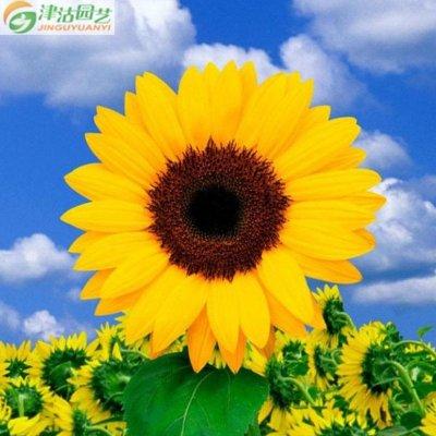 津沽园艺 进口花种子 美国泛美花卉种子 矮向日葵种子 金色大道