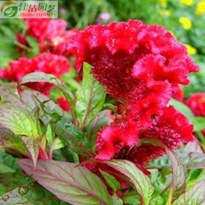 津沽园艺 花卉种子 鸡冠花种子 好养活 庭院植物 阳台种植