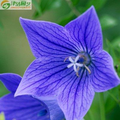 津沽园艺 花卉种子 桔梗种子 僧冠帽 六角荷 铃铛花种子