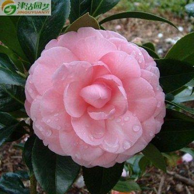 津沽园艺 花卉种子 粉煦茶花凤仙种子 凤仙花 四季播盆栽 淡粉色 20粒