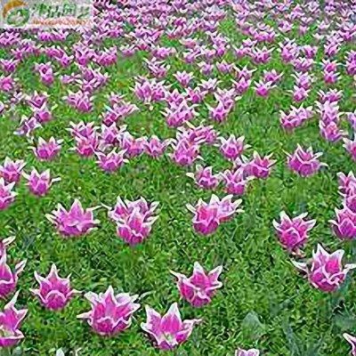 津沽园艺 花卉种子 草坪花种子 花园种植 庭院种植 约50粒