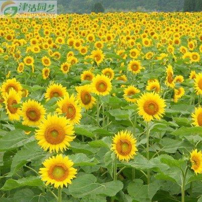 津沽园艺 花卉种子 观赏向日葵种子 向阳花种子 多花易活约20粒