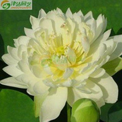 津沽园艺 花卉种子 水生植物 碗莲种子 已破口 雪美人(粒)