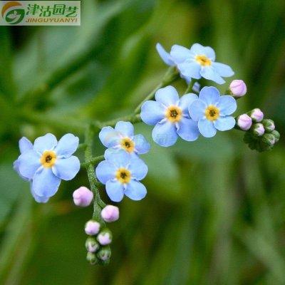 津沽园艺 花卉种子 蓝色勿忘草种子 四季播盆栽易活 约20粒/包
